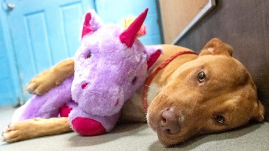 Un perro callejero roba un unicornio cinco veces y su refugio se lo acaba comprando