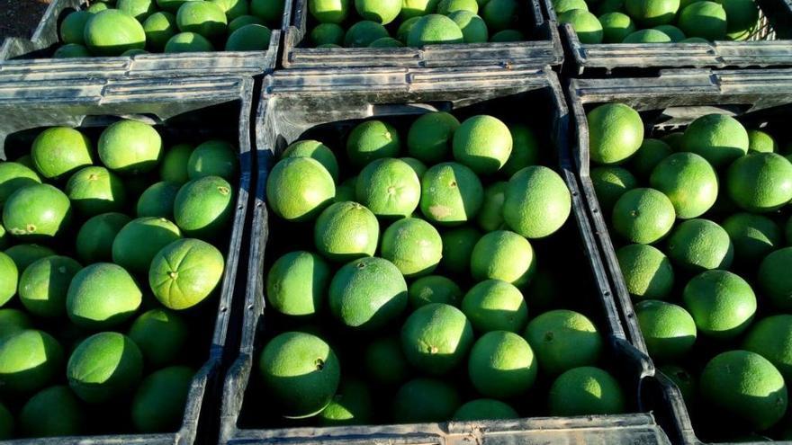 AVA-Asaja alerta sobre la recolección de navelinas verdes en el campo valenciano
