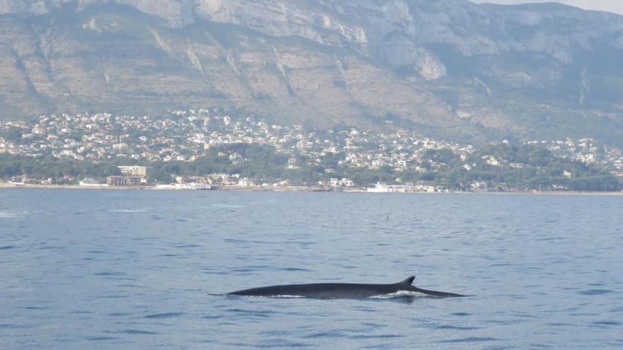 Avistan 30 ballenas en Dénia en apenas dos semanas