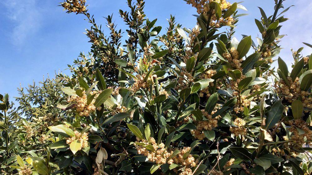 Llorer. La Setmana Santa ja és a la cantonada i aquest arbust de llorer ja està preparat per donar color i olor a la festa. És molt apreciat en la cuina perquè les seves fulles són un condiment excel·lent.