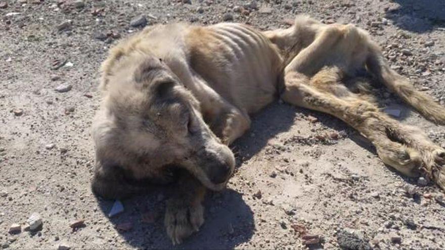 La Policía pone nombre al maltratador de «Ragnar», el perro hallado desnutrido en Elche