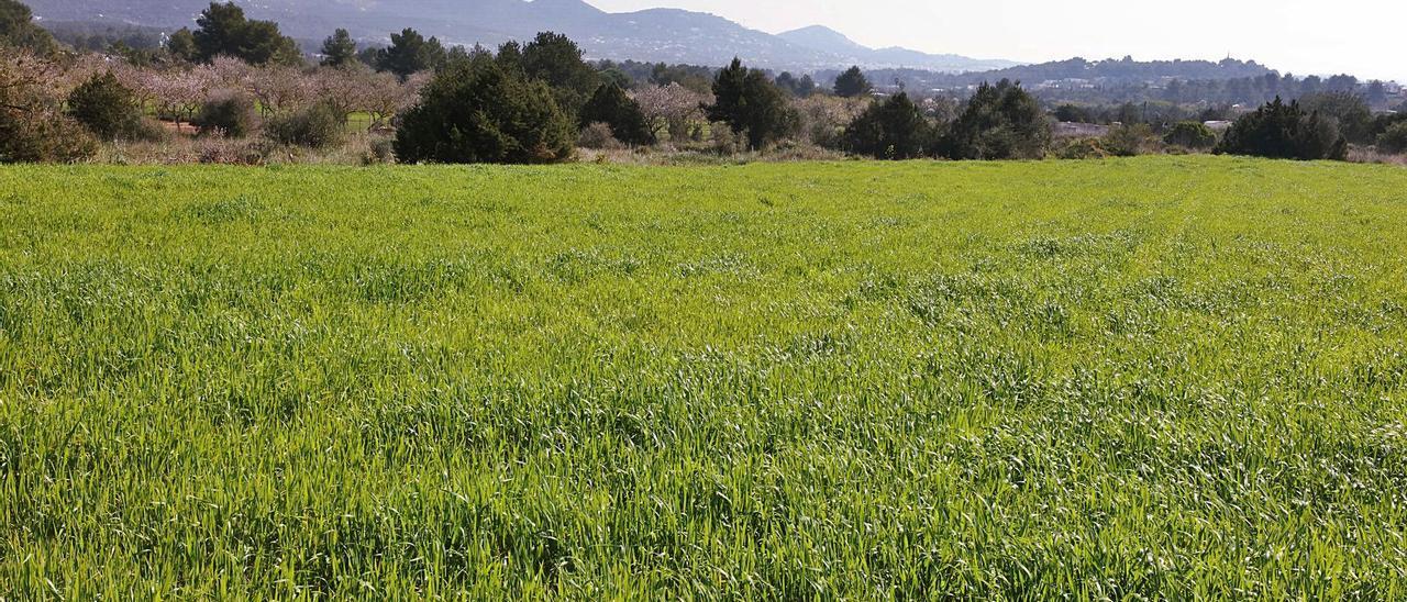 Imagen de archivo de un cultivo de trigo de 'xeixa' en Sant Rafel. | J. A. RIERA