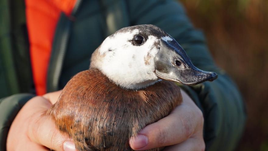 Reintroducen en s'Albufera una especie de pato extinguida desde hace 15 años