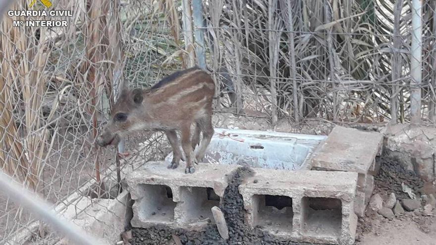 Un vecino de Elx tenía un jabalí como mascota que provenía de la caza furtiva