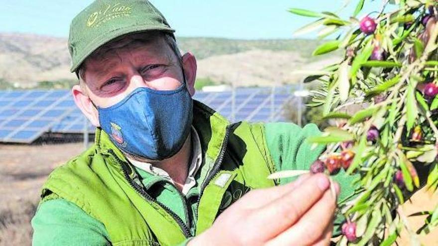 Paco Vañó, junto a sus olivos, con una planta solar de otro propietario al fondo. |