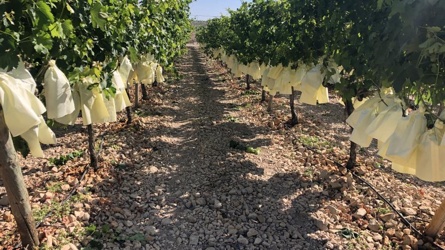 Mercadona comprará 7.200 toneladas de uva del Vinalopó este año