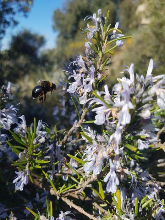 Romaní. Amb l'arribada de la primavera podem veure com la natura ja comença a fer la seva, a florir, i s'inicia la pol·linització. En aquesta imatge podem veure el romaní florit.