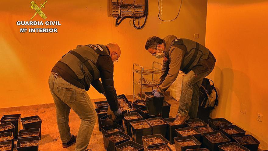Dos detenidos por tener una plantación de 'maría' en un chalé de La Manga