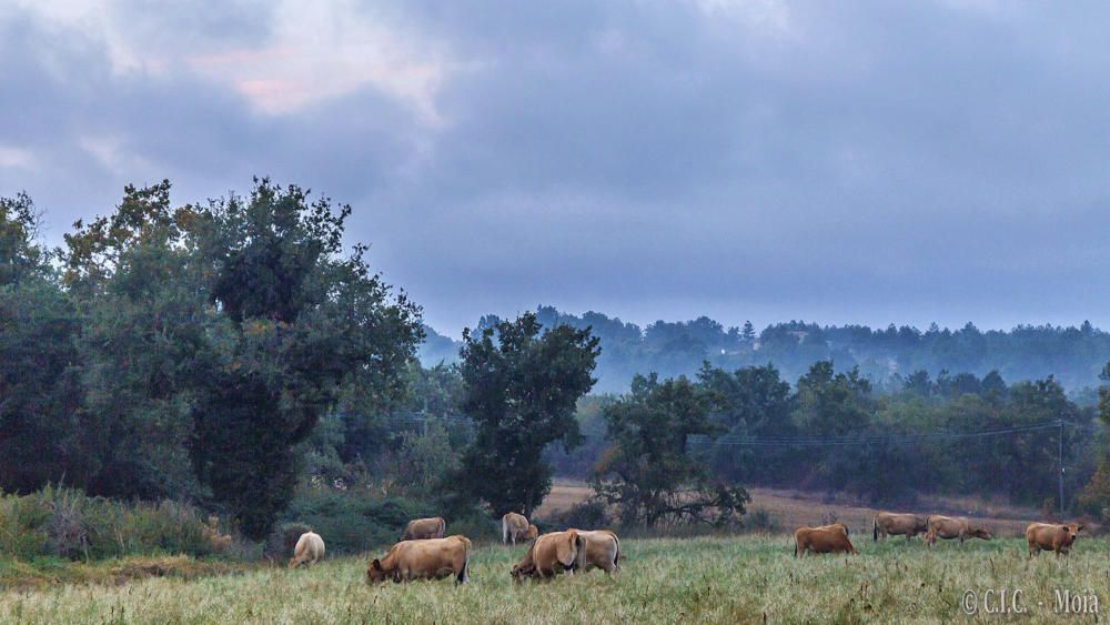Bous. Els bous de la imatge pasturen tranquil·lament. Són remugants relativament grans que es caracteritzen per tenir unes banyes buides per dins que poden assolir una mida considerable.
