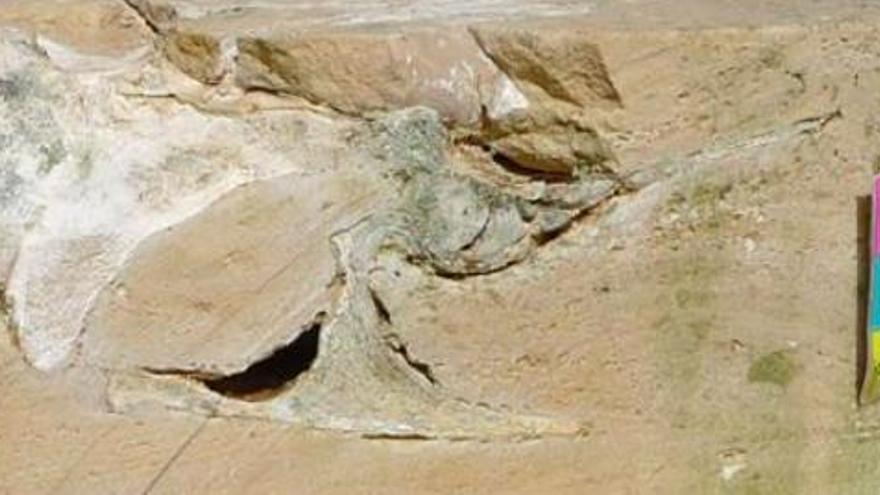 Fossilien-Fund: Dieser Wal ist wohl seit 5,7 Millionen Jahren tot