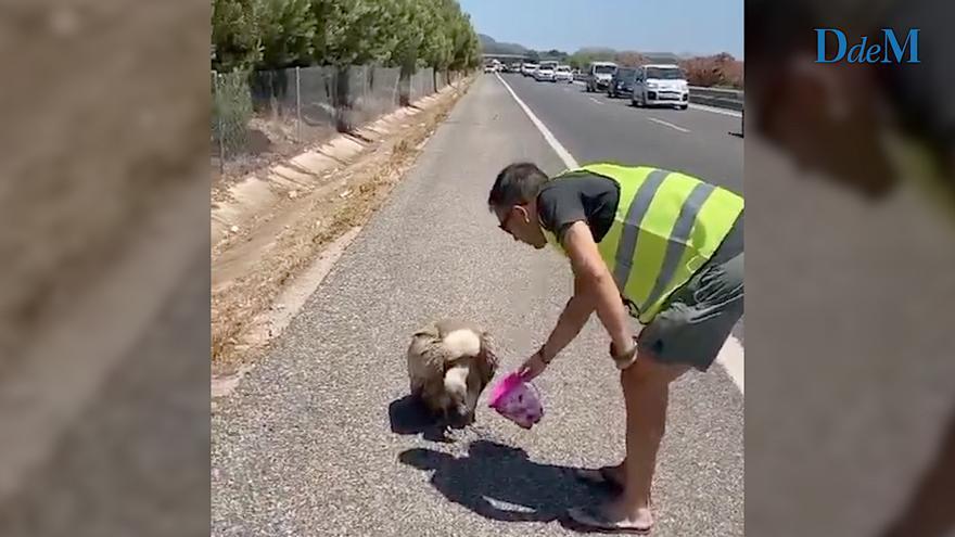 Dos hombres socorren a un voltor en la autopista de Inca