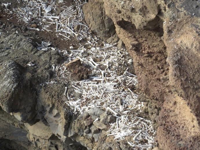 Estudios de restos óseos hallados en excavaciones prehispánicas en el sureste de Gran Canaria