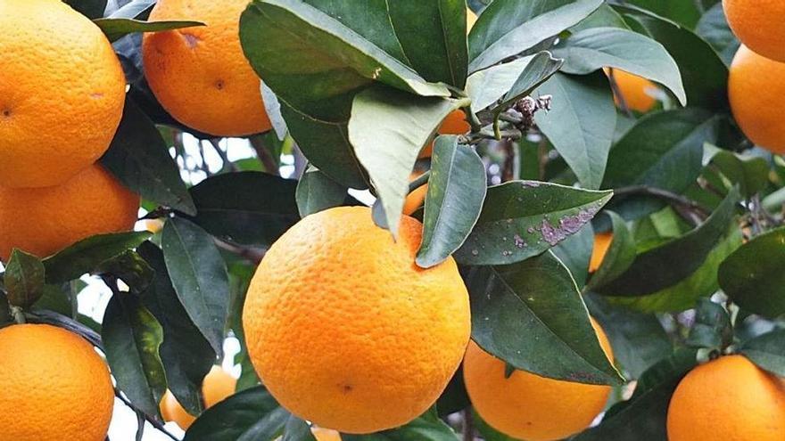 Streit um Sóllers leckerste Orange