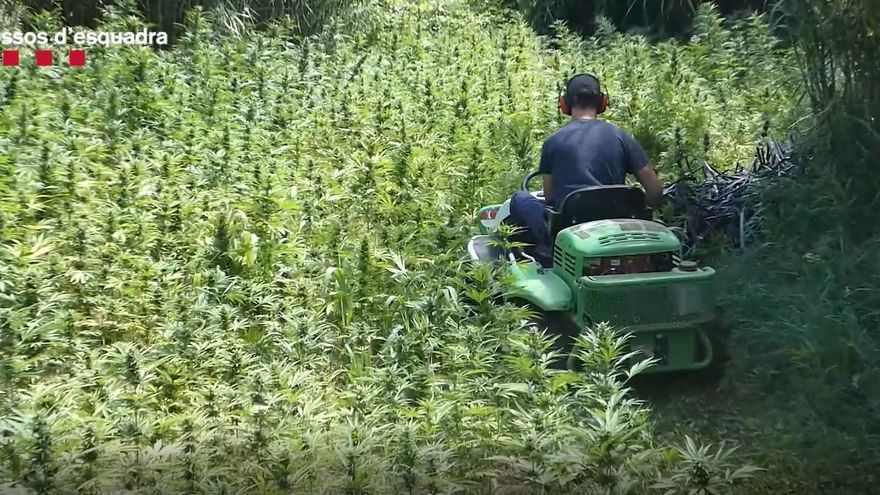 Descobreixen a Ventalló un cultiu de marihuana de més de 1.700 plantes a tocar del Fluvià