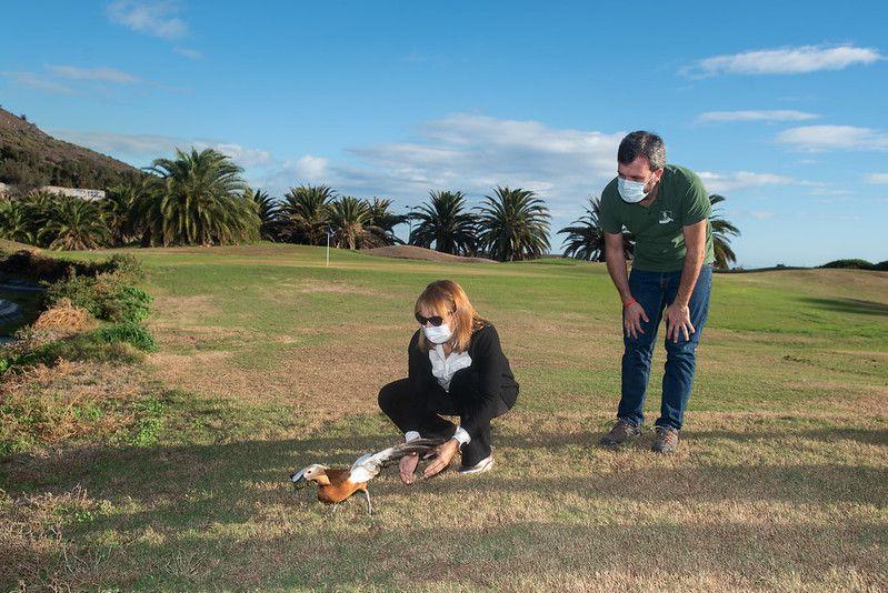 Liberado el tarro canelo al que mutilaron las alas en Gran Canaria