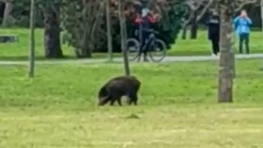 La policía abate a un jabalí que paseaba por el parque fluvial de Viesques