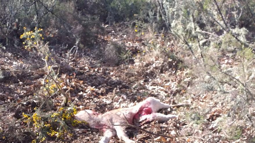 El lobo hostiga a una ganadería de Codesal durante tres semanas