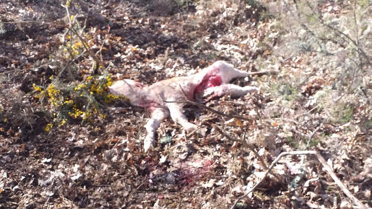 Ternero muerto en un ataque del lobo en Codesal