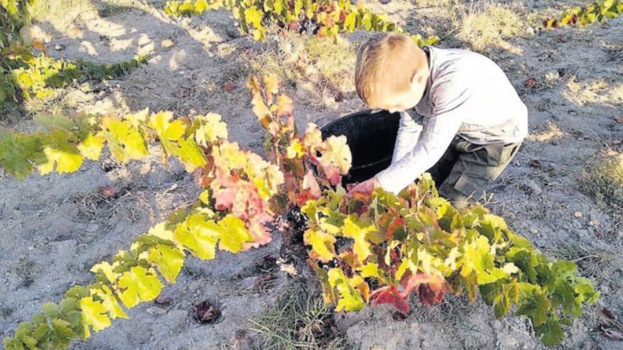 La vendimia alcanza el 40% en Toro y Benavente y un tercio en Arribes   y Tierra del Vino