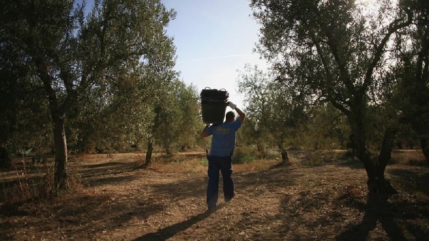 La campaña del aceite de oliva en Málaga cierra con 54.000 toneladas