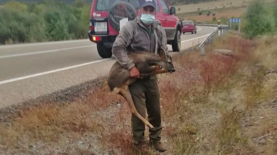La fauna provoca dos nuevos accidentes en la N-122 en Trabazos