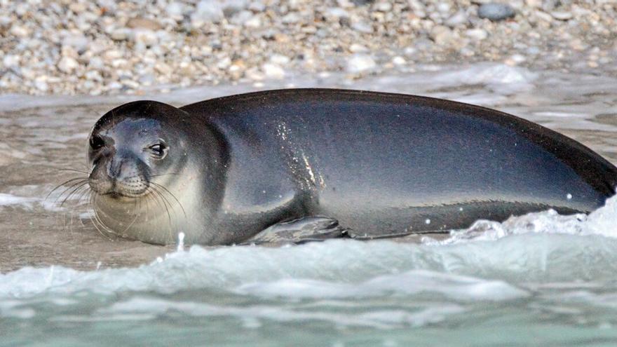 La muerte de un arponazo de la foca monje más emblemática del Mediterráneo indigna a Grecia