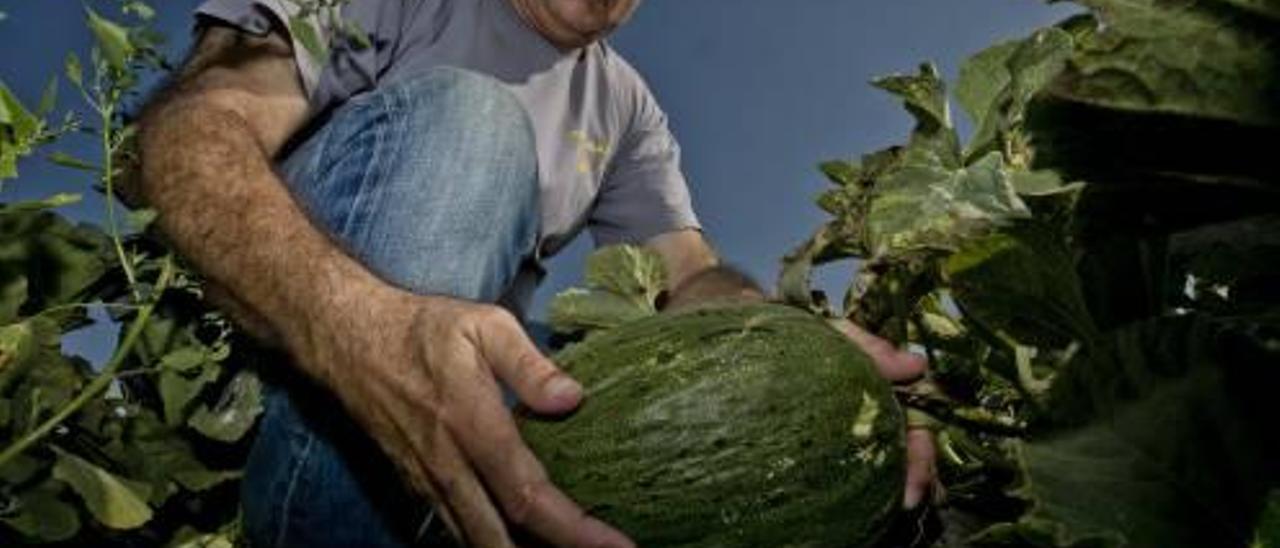 El melón de Carrizales empieza a venderse fuera de la provincia