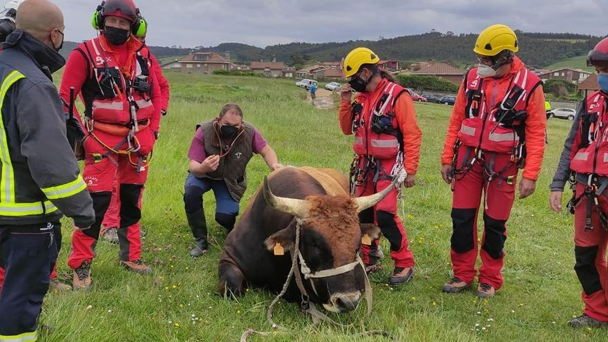 """Espectacular rescate de """"Bolero"""", un semental de 800 kilos que cayó por los acantilados de Gozón"""