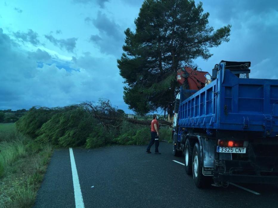 Umgestürzter Baum zwischen Manacor und Sant Llorenç.