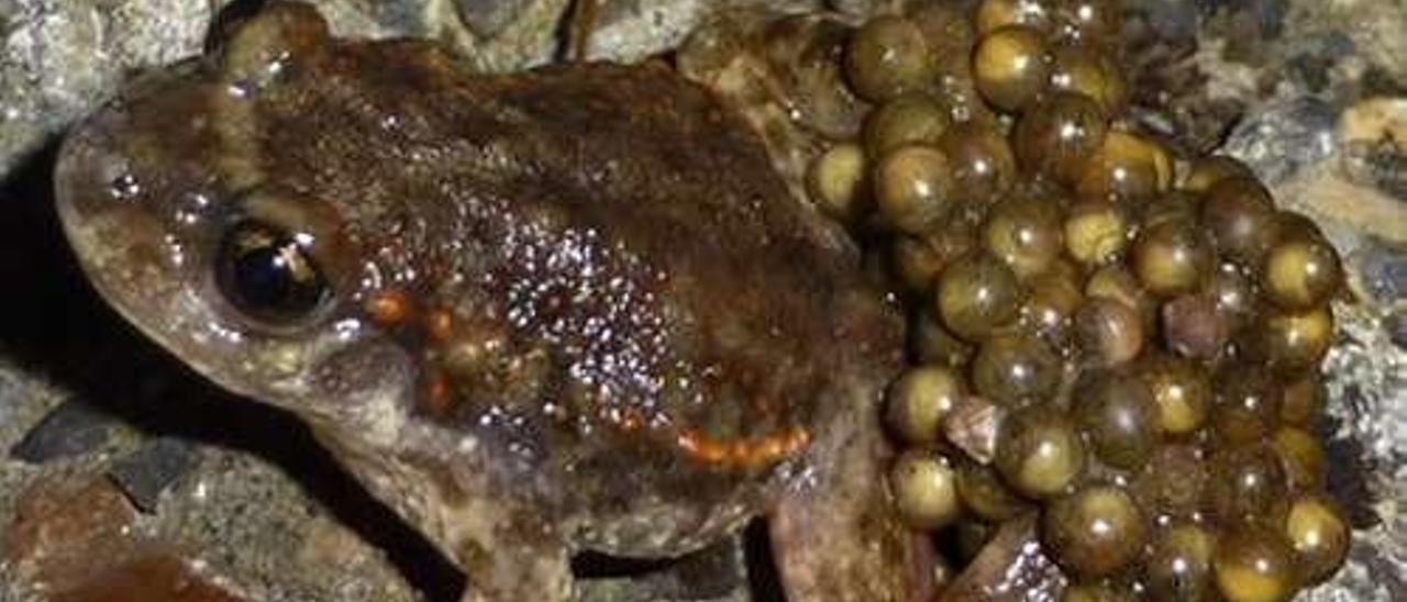 Macho de sapo partero transportando los huevos embrionados.