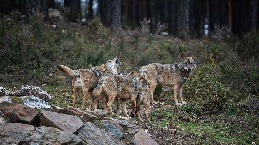 El lobo es intocable a partir de hoy en Zamora