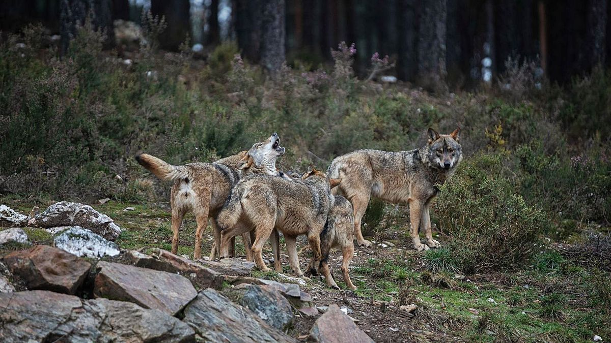 Ejemplares en el Centro del Lobo Ibérico de Sanabria.   Emilio Fraile