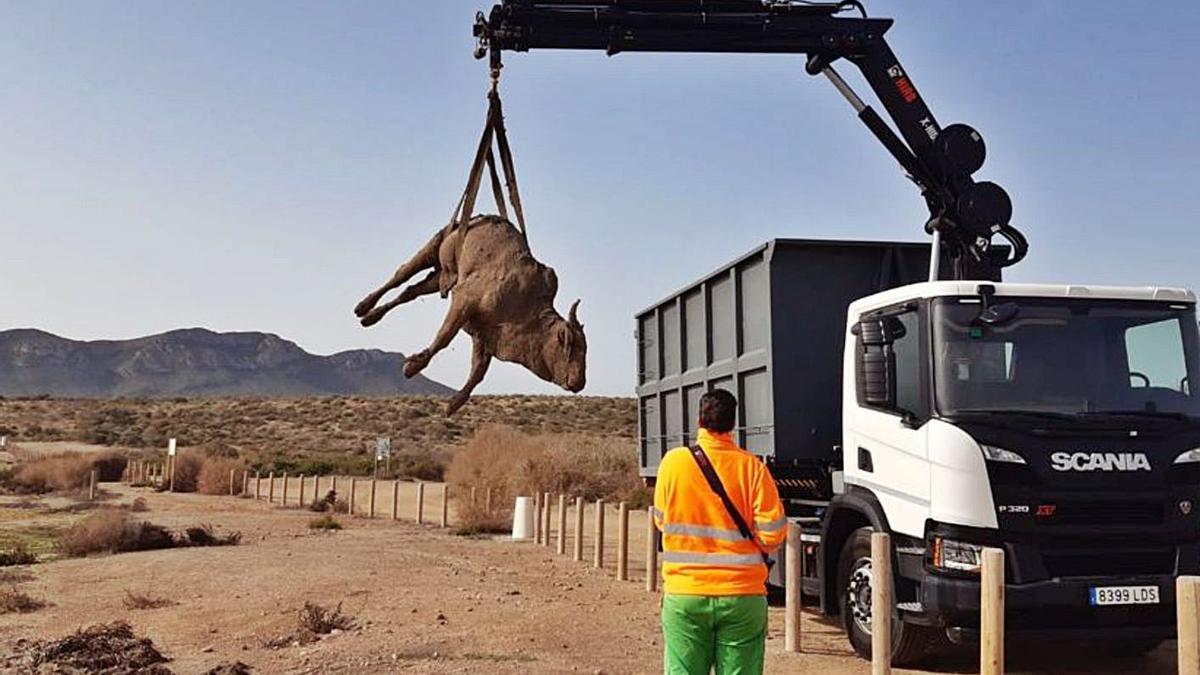 Un camión del Ayuntamiento de Águilas retira los restos mortales de la vaca, ayer. | L.O.