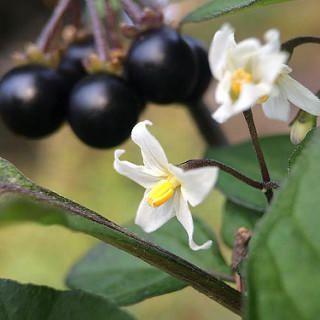 Tomatillo del diablo. La solanum nigrum es parecida a la planta del tomate. También sus frutos, pero más pequeños y pasan de un verde inicial a tornarse negros. Provocan diarreas y vómitos
