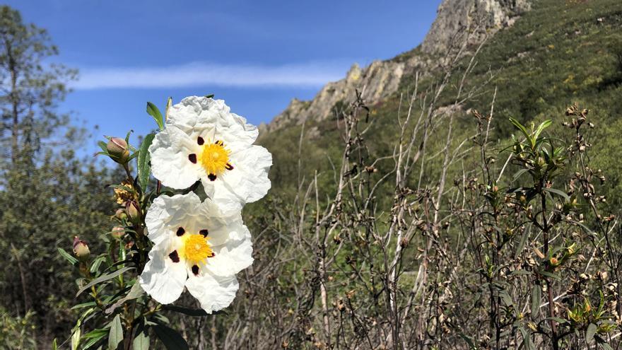 La flor de jara viste con su manto blanco las Villuercas