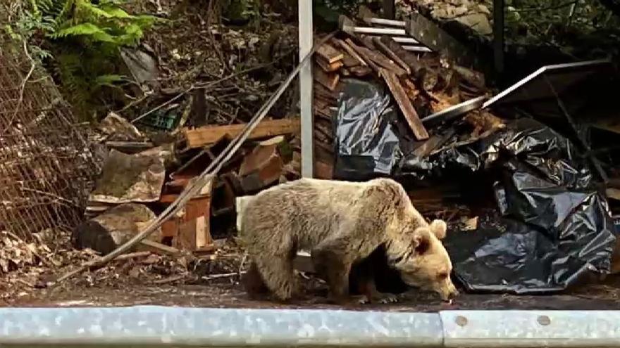 Herida una mujer por el ataque de un oso cuando paseaba en Asturias