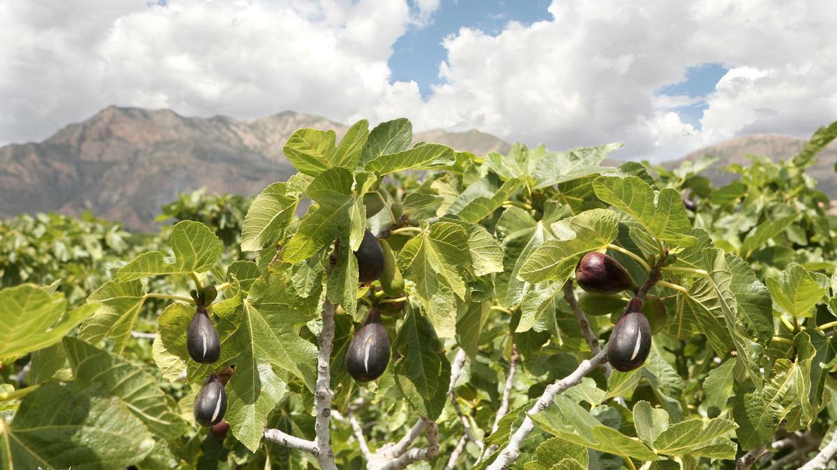 La breva es un fruto unido de forma indivisible a la localidad albaterense.