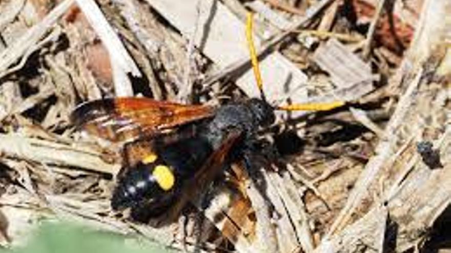 Agricultura descarta que la avispa detectada en la Marina Alta sea la letal asiática