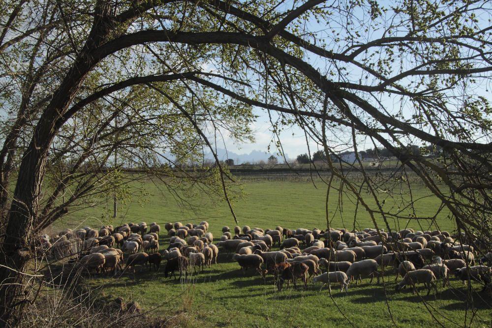 Ramat. Les ovelles surten a fer un vol i a menjar una mica. Amb aquest temps podem veure ramats a prop de casa del nostre lector, que ha pogut captar aquesta imatge. Aquestes ovelles són  en un prat al costat de Sant Iscle.