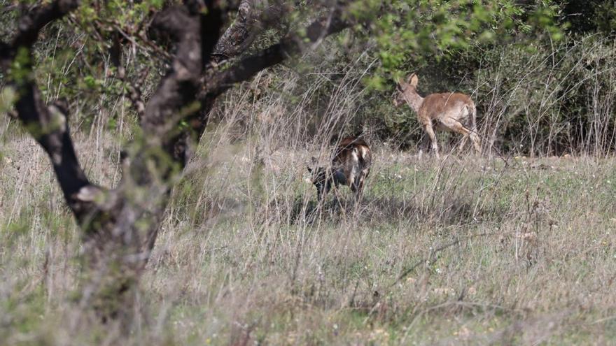 La sarna sarcóptica pone en peligro a la fauna salvaje de la Comunitat