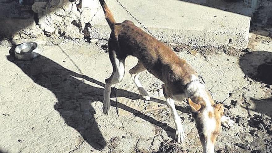 Denuncian maltrato a nueve perros escuálidos y atados con cadenas en Llíber
