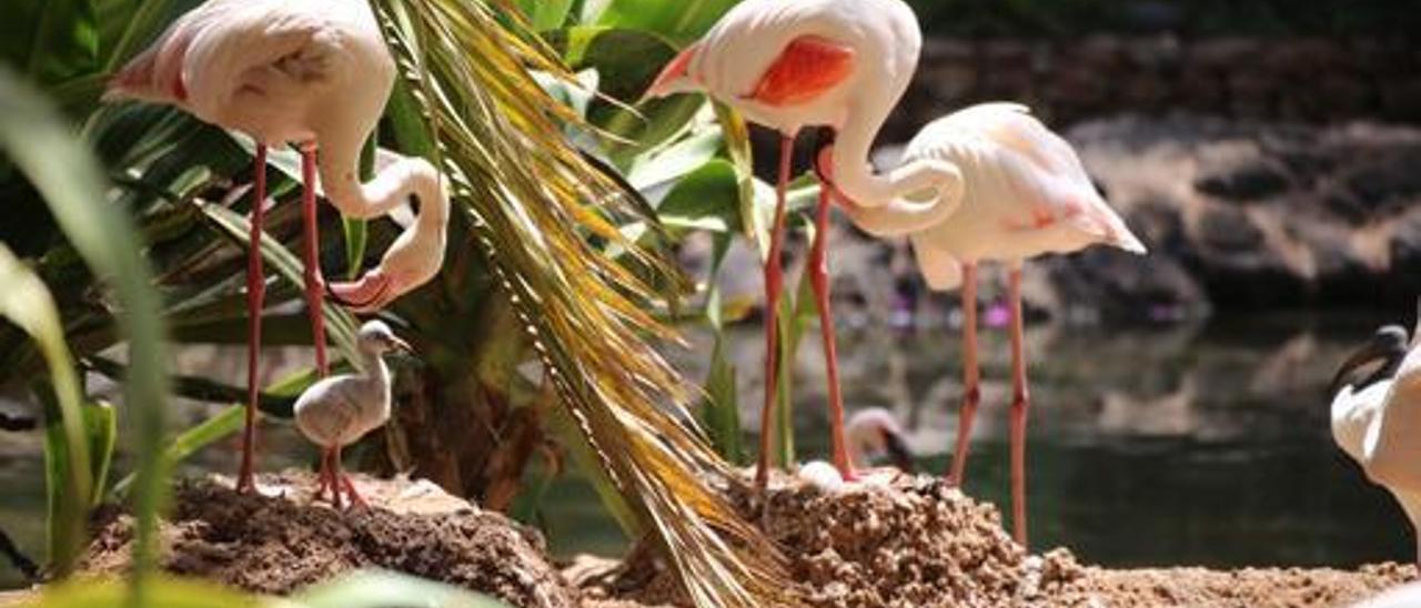 Imagen de la familia de flamencos donde se observa a una de las crías en el interior del nido, en el zoológico Oasis Wildlife, en La Lajita. | | LP/DLP