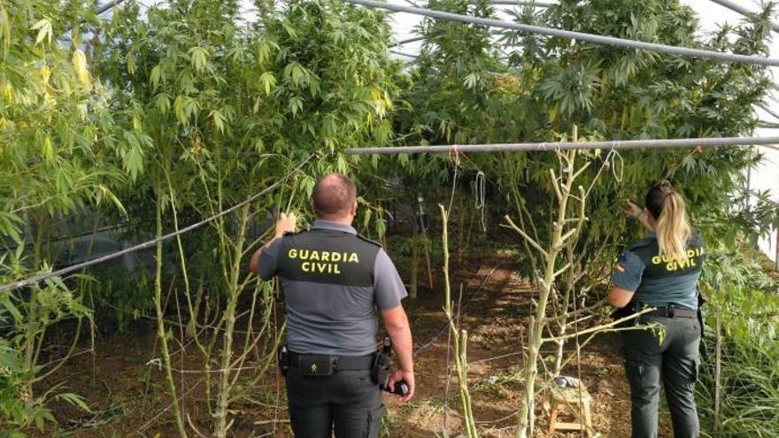 La Guardia Civil sorprende in fraganti a cinco personas recolectando una plantación de marihuana en O Salnes
