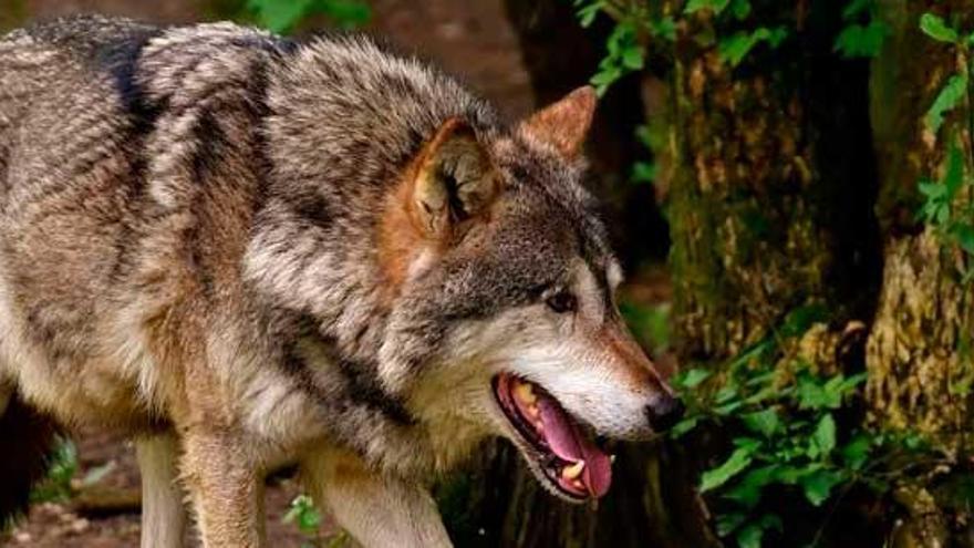 La Xunta y tres autonomías más paralizan el plan para proteger el lobo ibérico