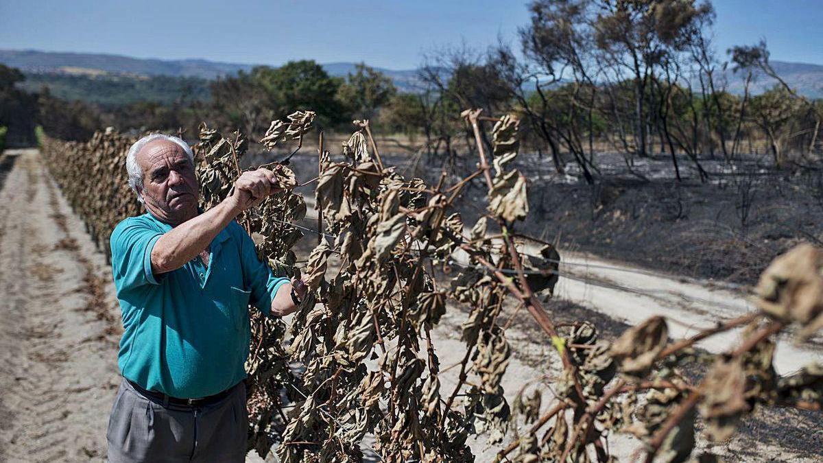 Carlos Martínez, vecino de A Salgueira, en un viñedo de su propiedad dañado por el fuego.