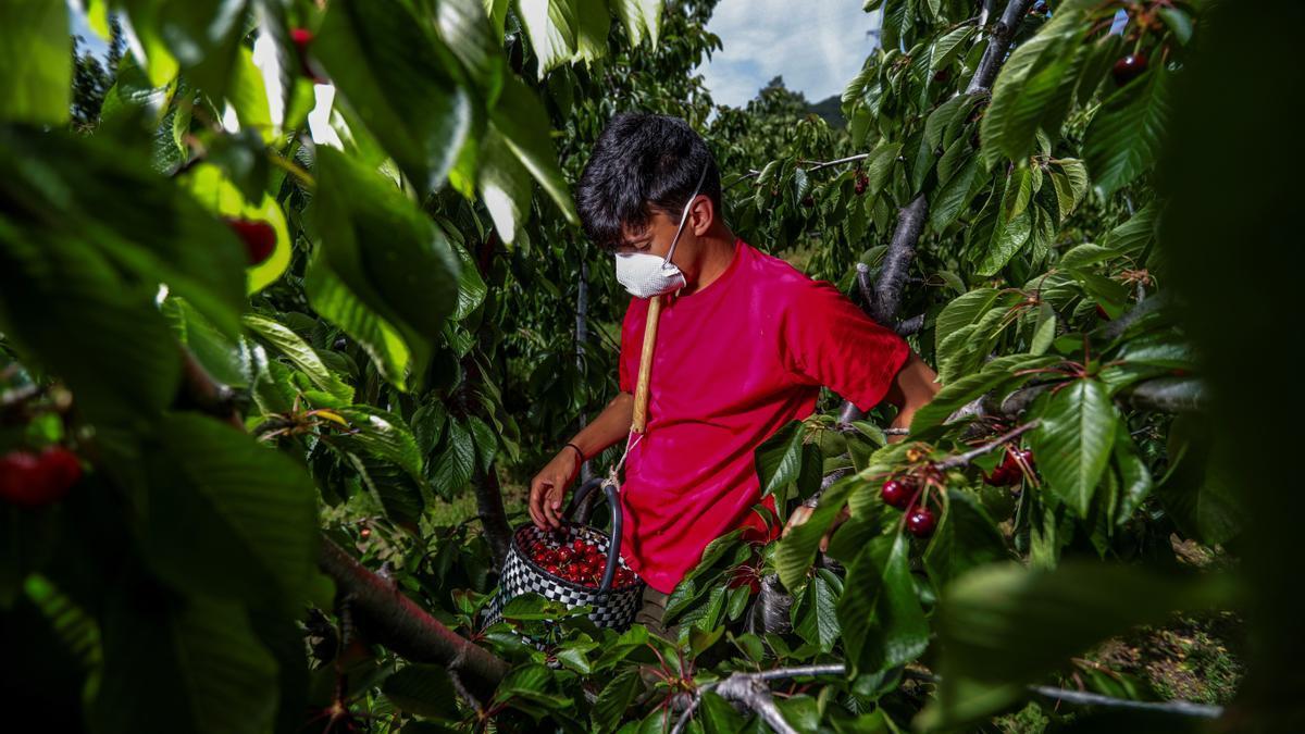 Un trabajador, recoge cerezas en una explotación del Jerte, en la campaña del 2020.