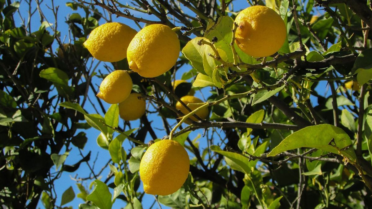 Five fruit trees that you can plant at home