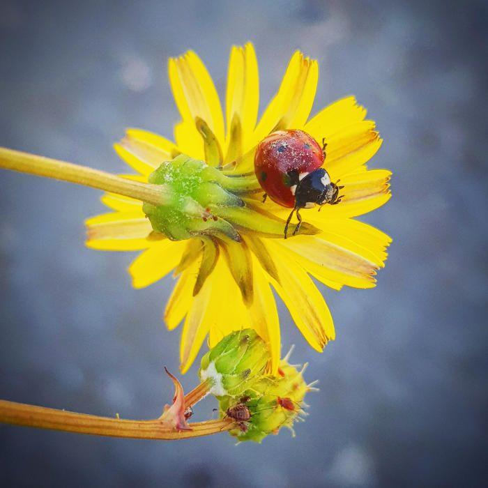 Marieta. Quan arriba la primavera ja surten les marietes, un insecte preciós, cridaner, elegant i petitó que surt durant aquesta època de l'any