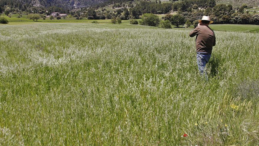 El cereal se enfrenta a la mejor campaña en diez años con 18.000 toneladas