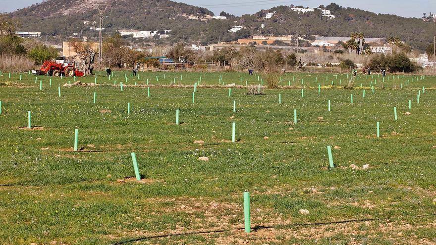 La superficie agrícola útil en Ibiza aumentó un 53,9% en 2020